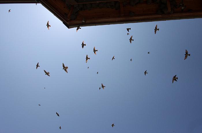 Swallowssmall5