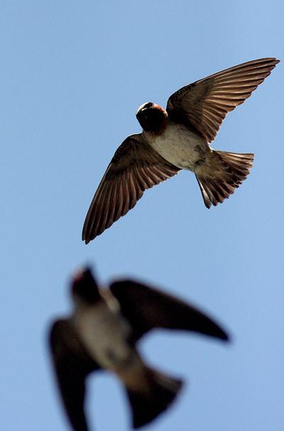Swallowssmall1