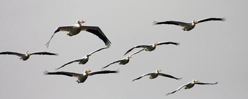 Pelicans_webready